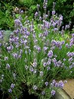 Lavandula angustifolia - Schmalblättriger Lavendel