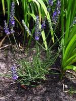 Lavandula x intermedia - Garten-Lavendel Grosso