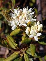 Ledum palustre - Sumpf-Porst, Mottenkraut, Wilder Rosmarin