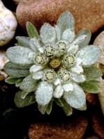 Leontopodium nivale - Alpen-Edelweiß