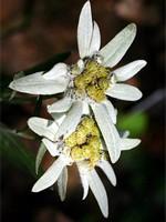 Leontopodium palibinianum - Sibirisches Edelweiß