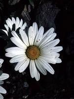 Leucanthemopsis alpina - Alpen-Margerite