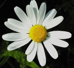 Photos Leucanthemum vulgare