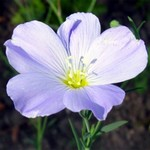 Photos Linum perenne