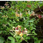 Photos Lonicera henryi