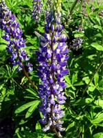 Photos Lupinus polyphyllus