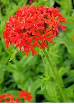 Photos Lychnis chalcedonica