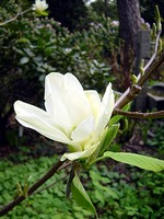 Photos Magnolia acuminata