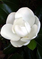 Photos Magnolia grandiflora