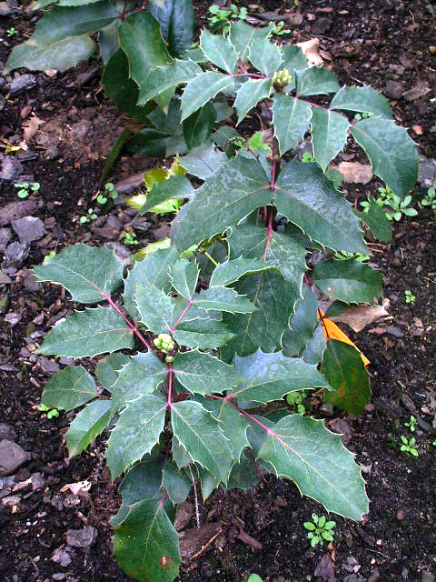 Photos Mahonia aquifolium - Hollyleaved barberry