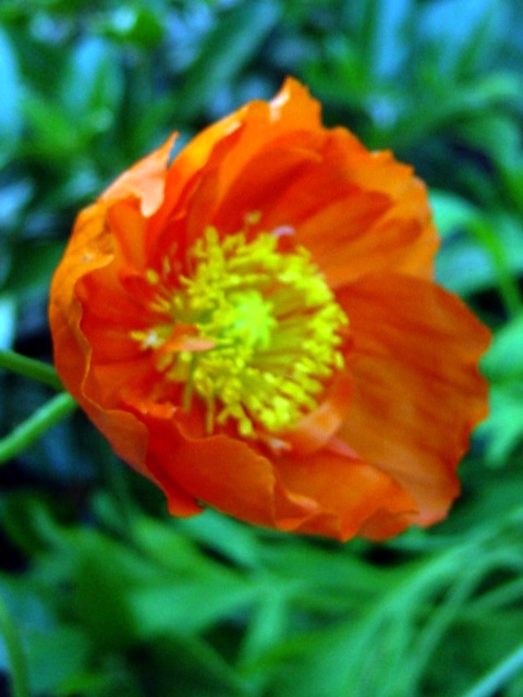 Photos Meconopsis cambrica - Welsh poppy