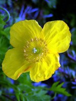 Photos Meconopsis cambrica