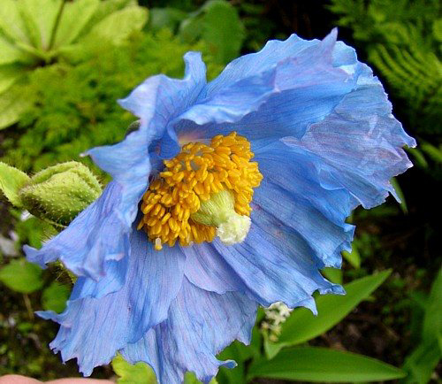 Photos Meconopsis horridula - Himalayan poppy