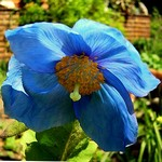 Photos Meconopsis x sheldonii
