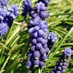 Muscari neglectum -