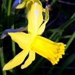 Narcissus cyclamineus - Alpenveilchen-Narzisse February Gold