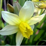 Narcissus cyclamineus - Alpenveilchen-Narzisse February Silver