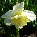 Narcissus - Gro�kronige Narzisse Ice Follies
