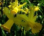 Narcissus jonquilla - Duft-Narzisse, Jonquille Quail