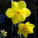 Narcissus jonquilla - Duft-Narzisse, Jonquille
