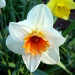 Narcissus - Großkronige Narzisse Rainbow