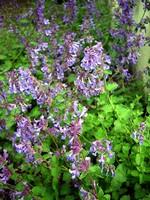 Nepeta faassenii - Garten-Blau-Minze, Garten-Katzen-Minze
