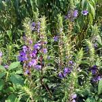 Nepeta grandiflora - Blau-Minze, großblütige Katzenminze