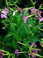 Nicotiana alata - Ziertabak