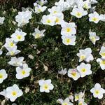 Nierembergia repens - Weißbecher