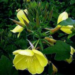Photos Oenothera biennis