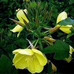 Oenothera biennis - Gewöhnliche Nachtkerze, Zweijährige Nachtkerze
