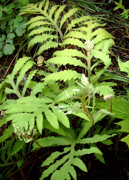 Photos Onoclea sensibilis - Sensitive fern