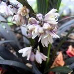Ophiopogon planiscapus - Dunkelblättriger Garten-Schlangenbart Nigrescens