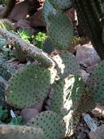 Opuntia rulida -