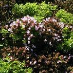 Origanum vulgare - Garten-Dost Compactum