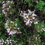 Origanum vulgare - Gewöhnlicher Dost, Majoran