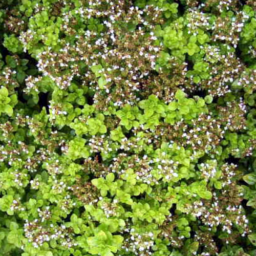 Photos Origanum vulgare - Oregano