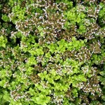Origanum vulgare - Garten-Dost Thumbles Variety