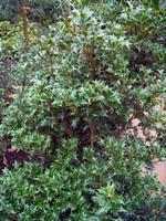 Osmanthus heterophyllus - Stachelblättrige Duftblüte