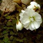 Oxalis magellanica - Nelson