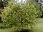 Ostrya carpinifolia - Hopfenbuche