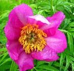 Photos Paeonia anomala