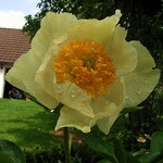 Photos Paeonia lactiflora