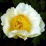 Paeonia lactiflora - Beet-Pfingstrose Rushlight