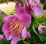 Paeonia lactiflora - Beet-Pfingstrose Magic Melody