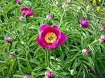Photos Paeonia mascula