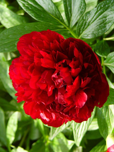 Photos Paeonia officinalis - Chinese peony