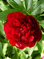 Fotos Paeonia officinalis