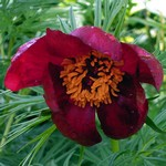 Photos Paeonia x smouthii