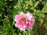 Photos Paeonia suffruticosa